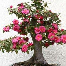 kameliya-quot-yaponskaya-quot-camellia-japonica-10-semyan