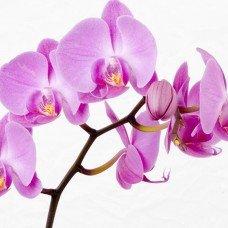 Орхидея отдушка