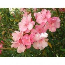 Эфирное масло Розовое дерево