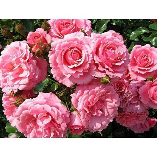 Гидролат Чайной розы