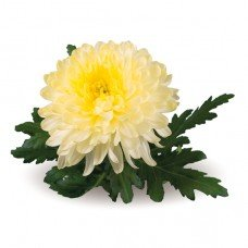 Хризантема отдушка