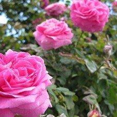 Роза болгарская гипоалергенная отдушка